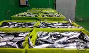 La campaña de la sardina