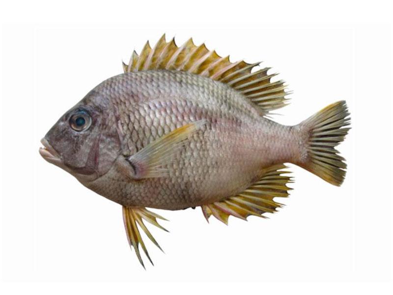 Besugo en Pescador Rodolfo