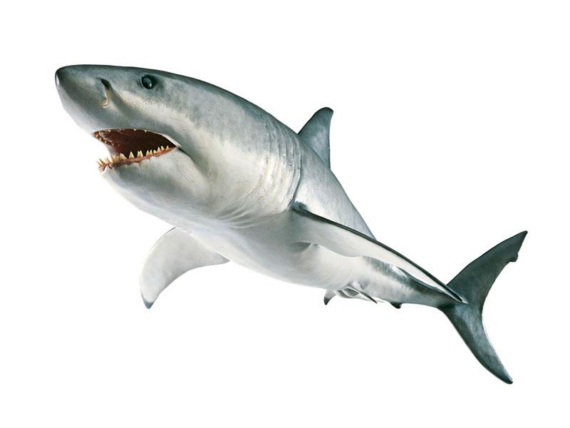 Tiburón en Pescados Rodolfo